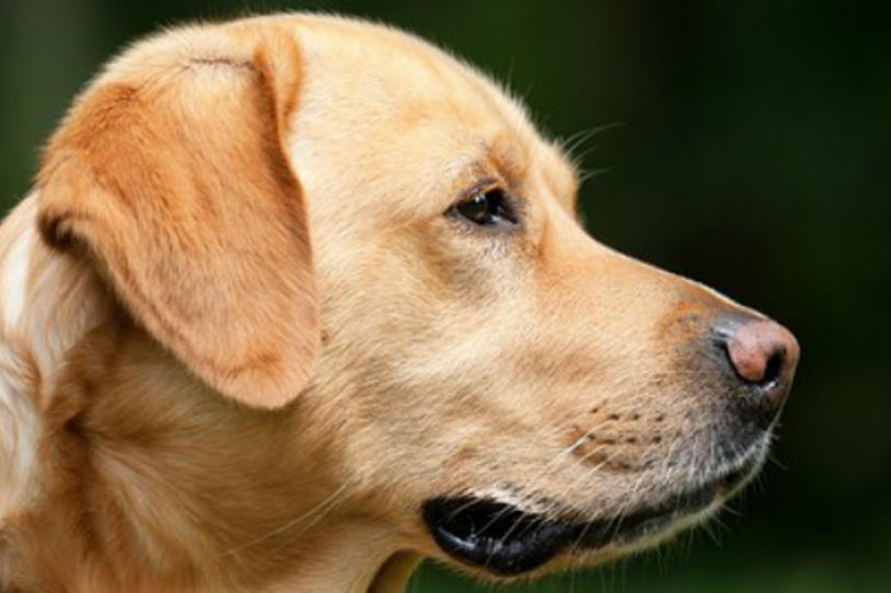 Can Dogs Help Diagnose Parkinson's Disease?